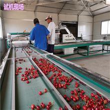 6XY-2樱桃采后处理流程 山东樱桃选果机型号