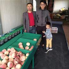 XGJ-z肥城蟠桃选果机  重量分大小的水果分选机