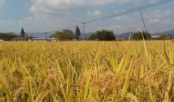 10月份农业农村经济向好态势持续巩固 全年粮食产量将再创历史新高