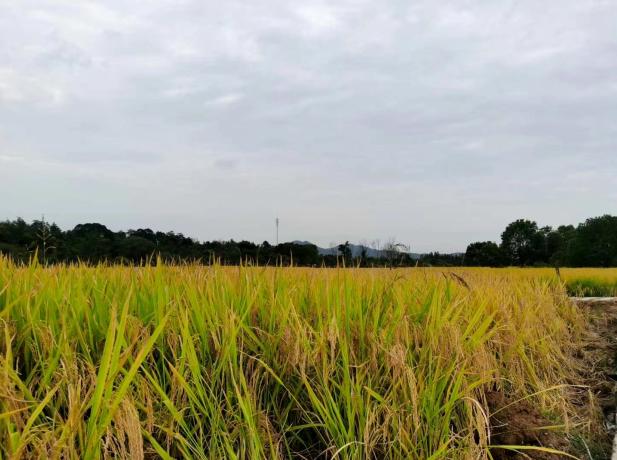 大暑节气到:高温多雨,早稻收割晚稻插秧
