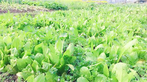 受災害性天氣影響七月蔬菜平均地頭價先降后升