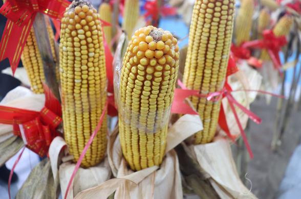 山東省關于切實做好玉米適期晚收工作的通知