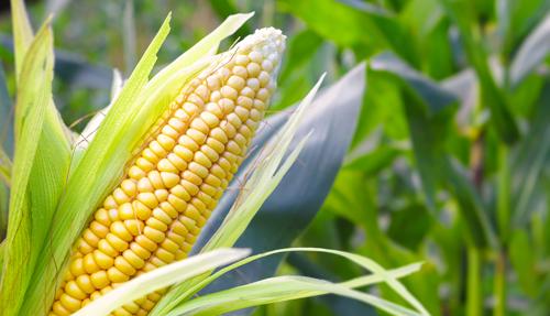 注意!山东省今年玉米建议晚收7~10天,制止龙8过早下地