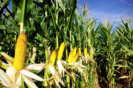 唐仁健在山东调研时强调 加强技术创新和集成推广 深挖潜力促进粮食稳产增产