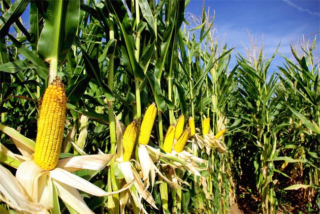 连续阴雨天气如何如何高质量收获玉米、种好小麦?
